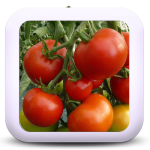Icon-02-Tomate