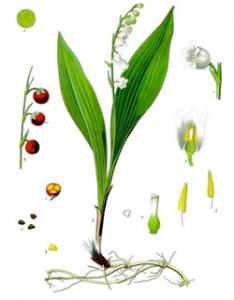 Illustration-Muguet1