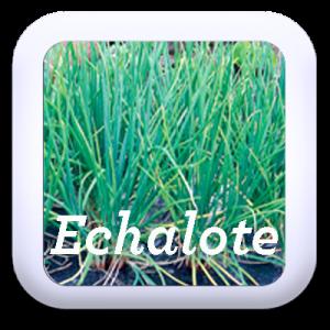 Icon-Echalote