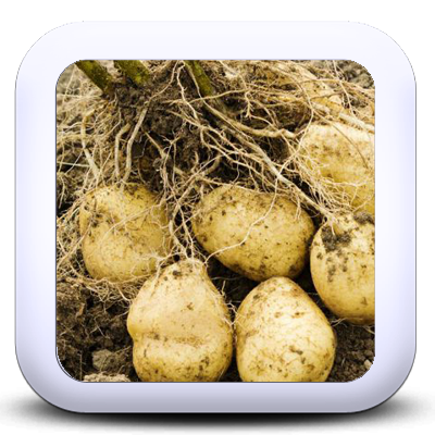Les pommes de terre primeur ou de garde je cuisine mon for Amidon en cuisine