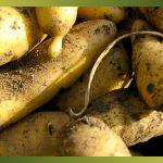 La pomme de terre peut être une source importante de glucides, mais aussi de protéines et de vitamines. Elle est riche en amidon, donc considérée comme un féculent