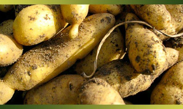 Les pommes de terre primeur ou de garde