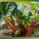 La Rhubarbe, en confiture ou en tarte, mais pas seulement …