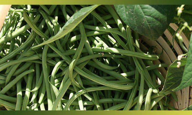 Les haricots verts, alliés de tous les régimes !