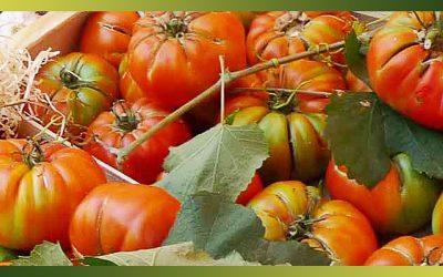 Les tomates, le fruit roi des légumes