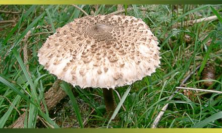 La coulemelle, une lépiote populaire et un champignon délicieux