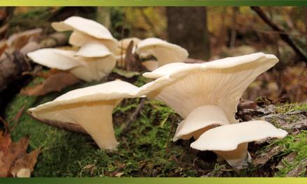 Le pleurote, le champignon à cultiver chez soi