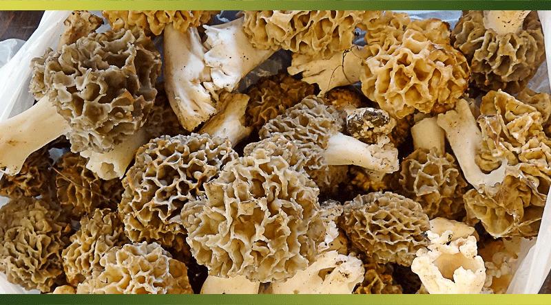 La morille, un champignon rare très prisé