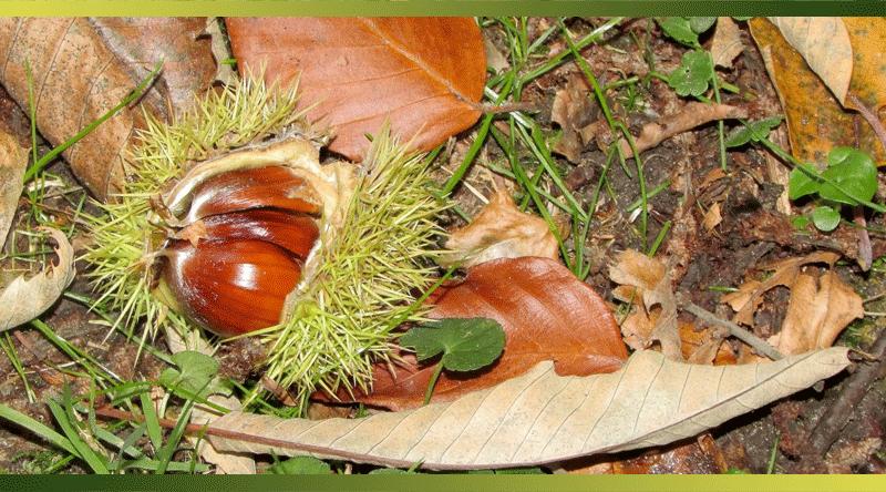Chaud les marrons ! 25 recettes à base de châtaignes et marrons