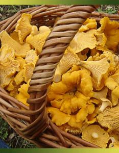 La girolle ou chanterelle commune, un champignon raffiné