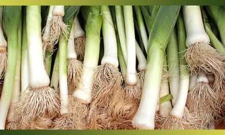 Le poireau, l'un des plus populaires de nos légumes