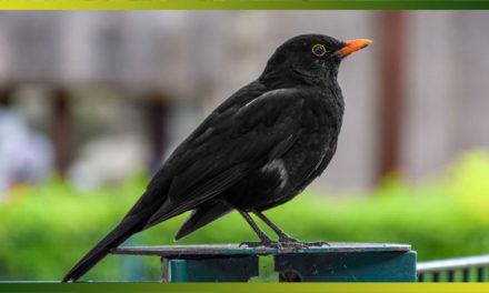 Merle noir, l'oiseau noir au bec orange