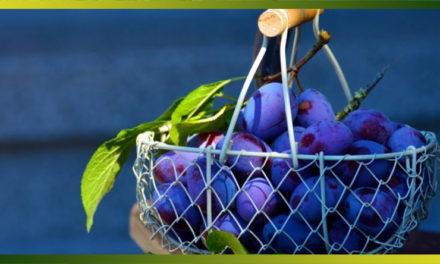La quetsche, le Pruneau ou la Prune de Damas… base de succulentes recettes