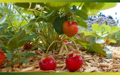 La fraise, de toute façon, elle est toujours délicieuse, 12 recettes pour en profiter…