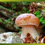 Une bonne cueillette de cèpes et autres champignons des bois, j'en ai les papilles qui frétillent !