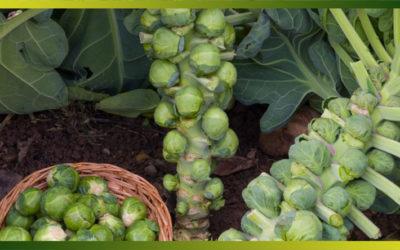 Le choux de Bruxelles, un des légumes le plus détesté…