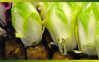 L'endive ou chicon, un antioxydant naturel
