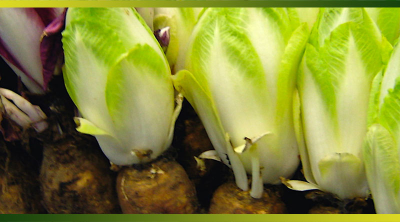 L'endive ou chicon, un antioxydant naturel